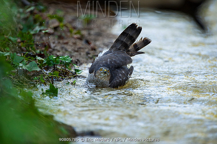 Sparrowhawk (Accipter nisus) bathing in stream, in forest, Pays de Loire, France