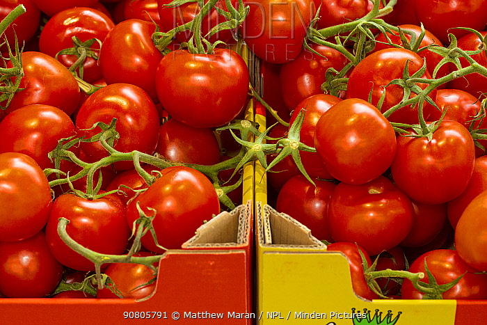 Tomatoes for sale in supermarket.