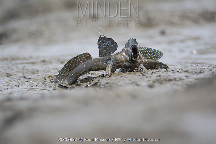 Great blue spotted mudskipper (Boleophthalmus pectinirostris), two males in territorial fight. Kyushu Island, Japan. August.