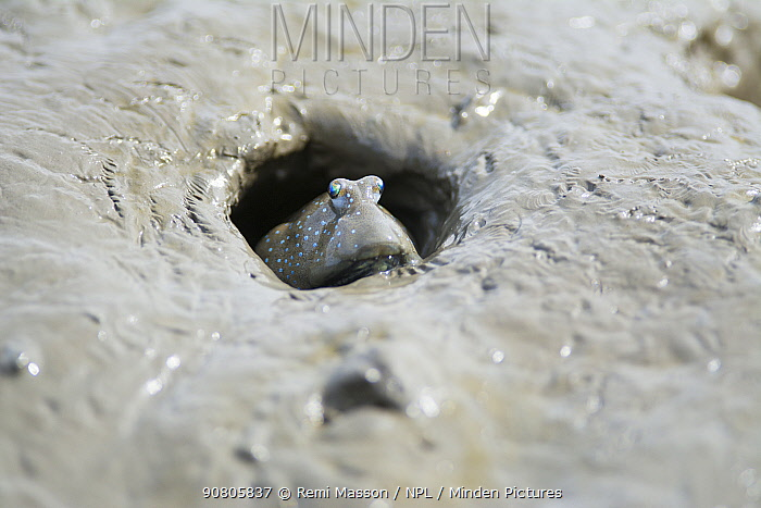 Great blue spotted mudskipper (Boleophthalmus pectinirostris) emerging from burrow in mud. Kyushu Island, Japan. August.