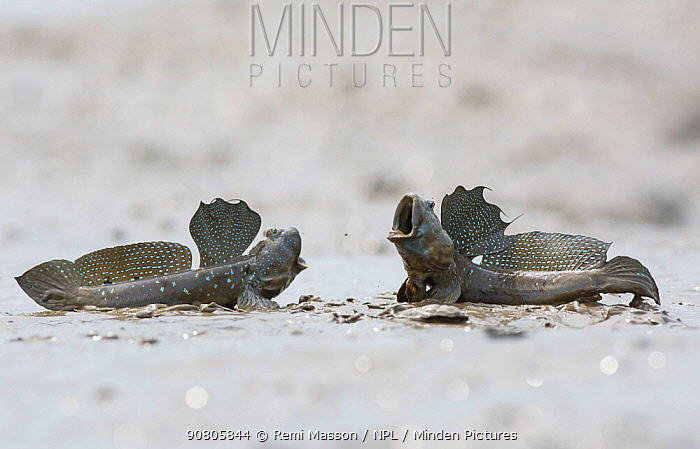 Great blue spotted mudskipper (Boleophthalmus pectinirostris), two males in territorial fight. On mud at low tide, Kyushu Island, Japan. August.