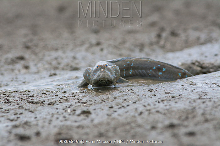 Great blue spotted mudskipper (Boleophthalmus pectinirostris) emerging from burrow in mud at low tide. Kyushu Island, Japan. August. August.