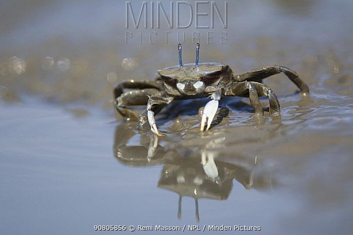 Japanese mud crab (Macrophthalmus japonicus) feeding in mud, reflected in water. Kyushu Island, Japan. August.