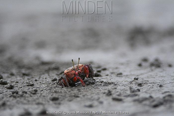 Crab (Cleistostoma dilatatum) in mud. Kyushu Island, Japan. August.