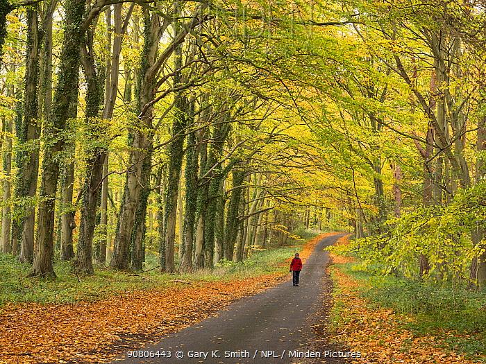 Man walking down a country lane in autumn, Norfolk, England, UK. November