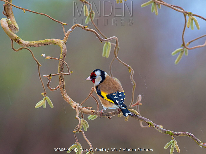 Goldfinch (Carduelis carduelis) perched on corkscrew hazel with catkins, England, UK. March.