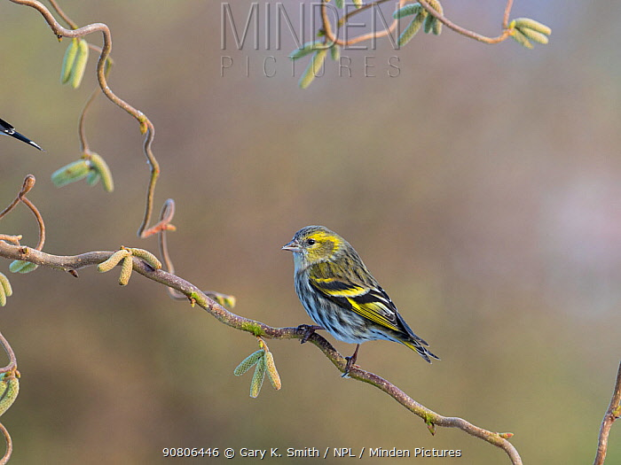 Siskin (Carduelis spinus) perched on corkscrew hazel with catkins, England, UK. March.