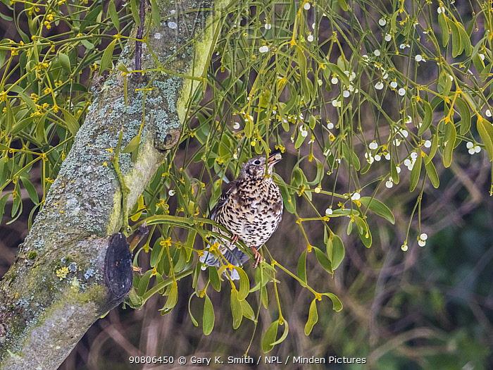 Mistle thrush (Turdus viscivorus) feeding on Mistletoe berries (Viscum album), England, UK. March