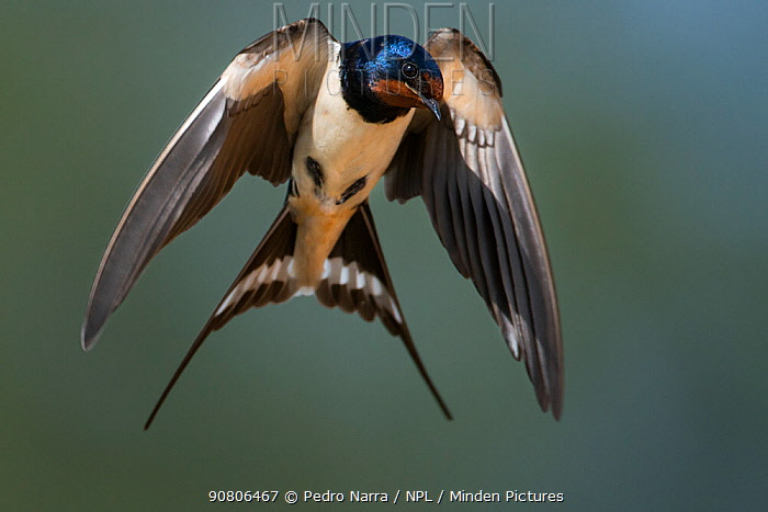 Barn Swallow (Hirundo rustica) in flight. Portugal, Europe
