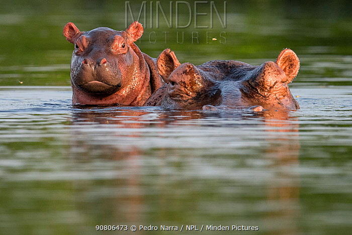 Hippopotamus (Hippopotamus amphibius) mother with juvenile, at water surface, Bijagos Archipelago Biosphere Reserve, Guinea Bissau, Africa.