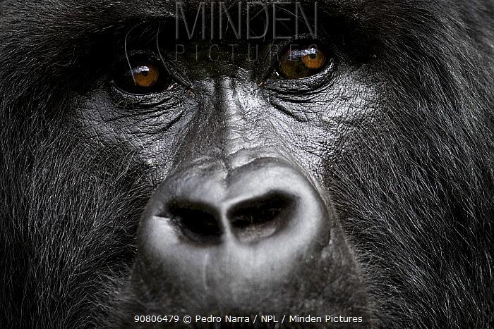 Mountain Gorilla (Goriila beringei) portrait, Volcanoes National Park, Virunga Mountains, Rwanda.