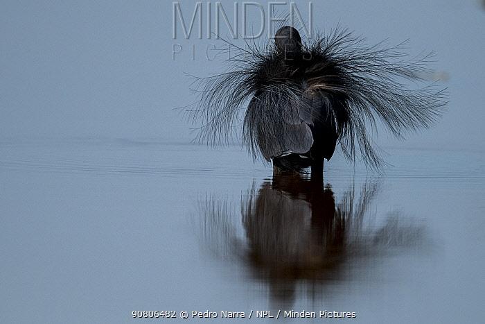 Black erget (Egretta gularis) displaying, Joao Vieira Poillo , Bijagos Archipellago. Guinea Bissau