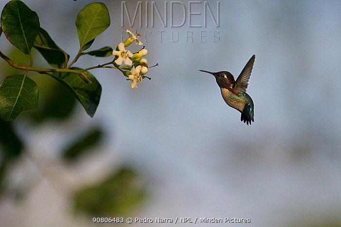 Bee hummingbird (Mellisuga helenae) hovering in front of flower, Guanahacabibes Peninsula National Park, Cuba