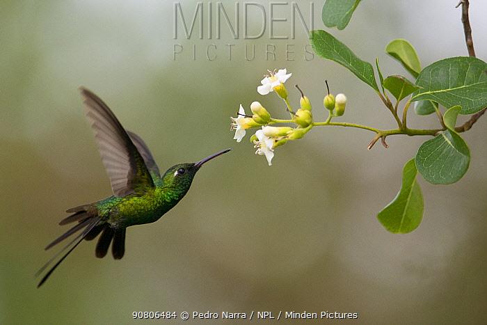 Cuban emerald hummingbird (Chlorostilbon ricordii) Guanahacabibes Peninsula National Park, Cuba