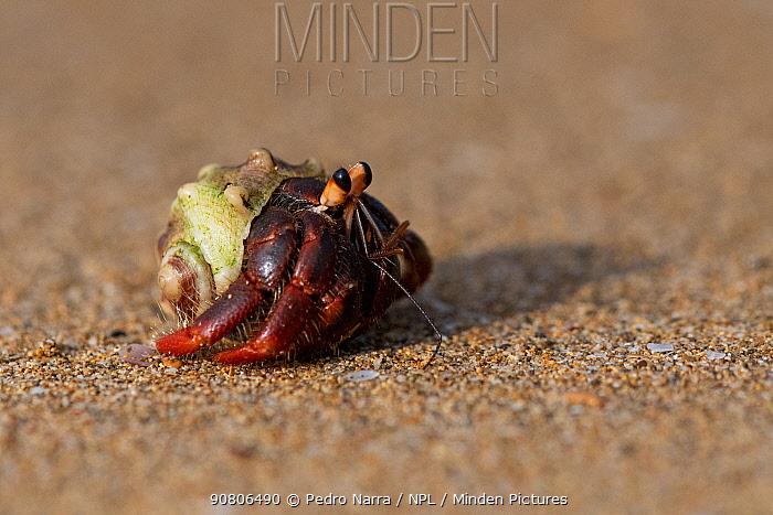 Hermit crab (Coenobita rubescens) Island of Principe, Democratic Republic of Sao Tome and Principe, Gulf of Guinea.