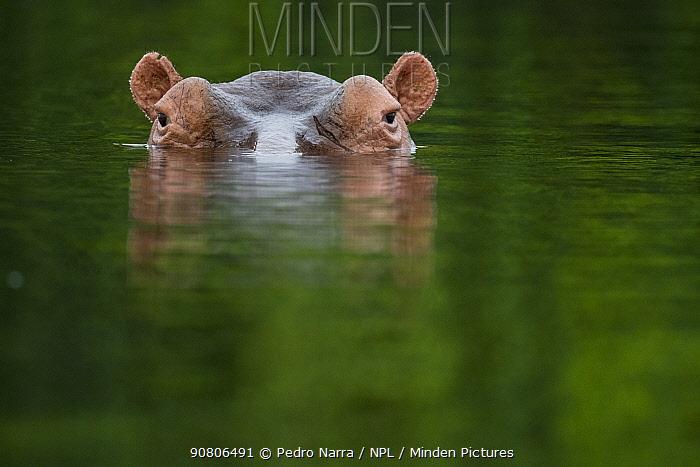 Hippopotamus (Hippopotamus amphibius) at water surface, Bijagos Archipelago Biosphere Reserve, Guinea Bissau, Africa.