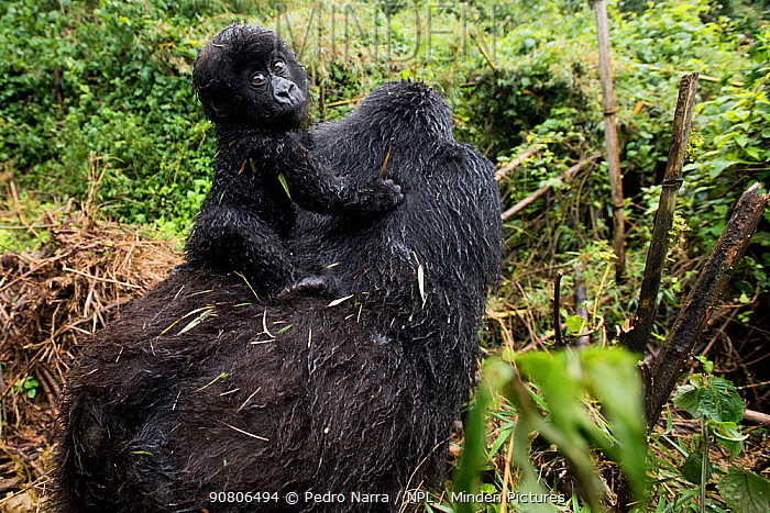 Mountain Gorilla (Goriila beringei) baby riding on mothers back, Volcanoes National Park, Virunga Mountains, Rwanda.