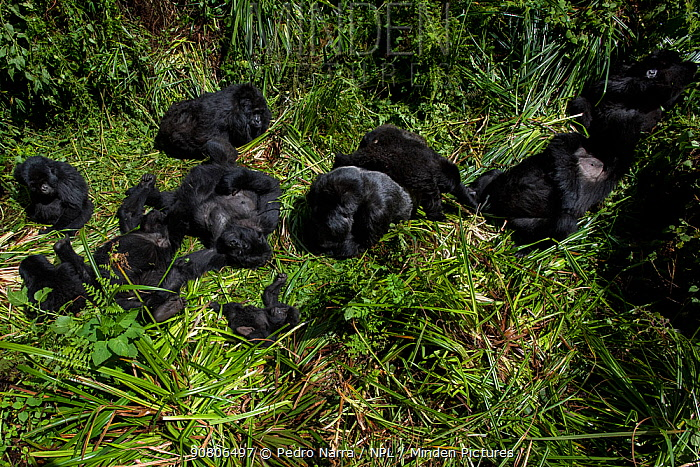 Mountain Gorilla (Goriila beringei) family group resting, Volcanoes National Park, Virunga Mountains, Rwanda.