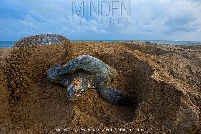 Green turtle (Chelonia mydas) female digging nest, Bijagos Archipelago, Guinea Bissau. Endangered species.