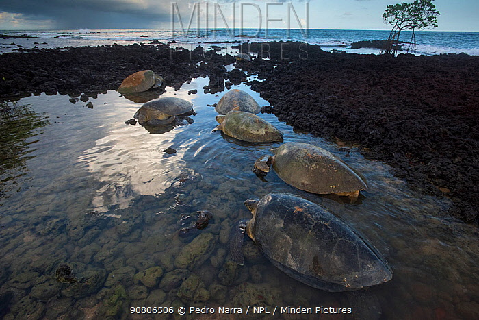 Green turtle (Chelonia mydas) females on beach to lay eggs, Bijagos Archipelago, Guinea Bissau. Endangered species.