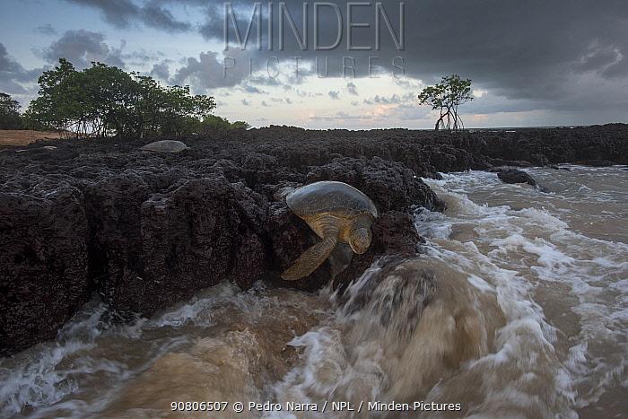 Green turtle (Chelonia mydas) dead on beach. Bijagos Archipelago, Guinea Bissau. Endangered species.