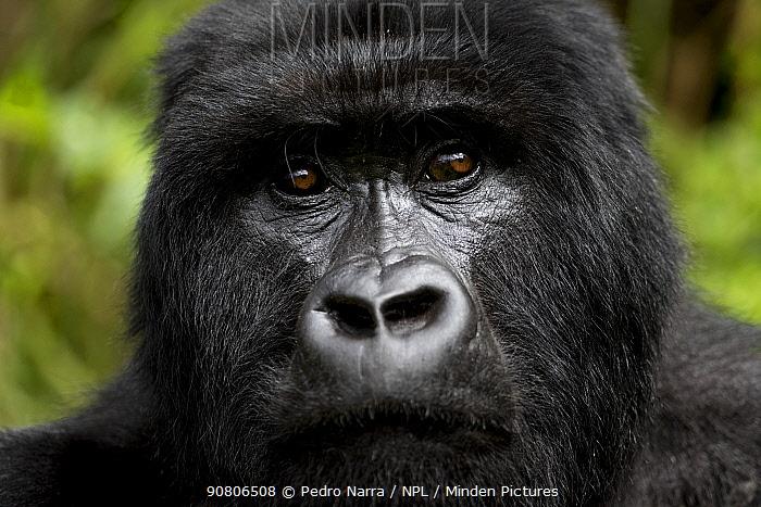 Mountain Gorilla (Goriila beringei) portrait, , Volcanoes National Park, Virunga Mountains, Rwanda.