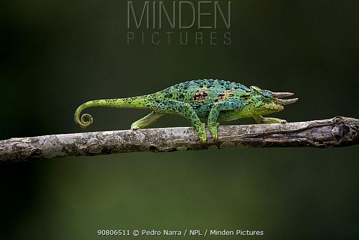 Jackson's three-horned chameleon (Trioceros jacksonii) Bwindi Impenetrable Forest, Uganda.