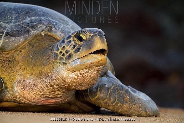 Green turtle (Chelonia mydas) portrait, Bijagos Archipelago, Guinea Bissau. Endangered species.