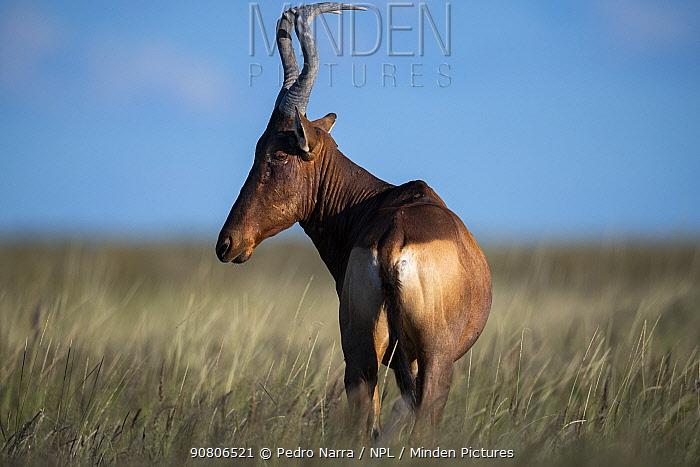Red hartebeest (Alcelaphus buselaphus), Etosha National Park, Namibia