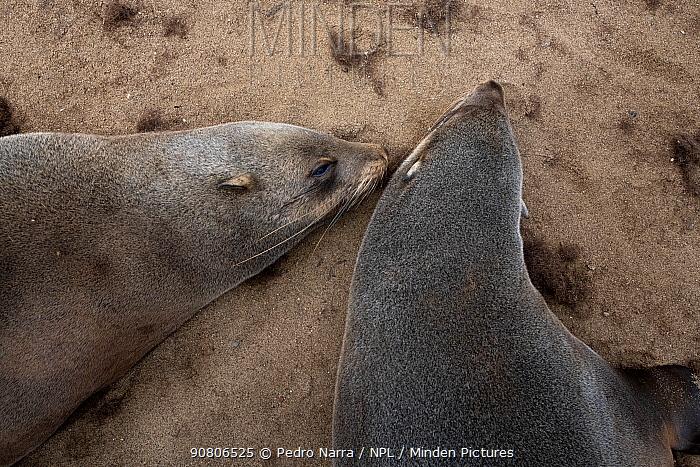 Cape fur seal (Arctocephalus pusillus) Cape Cross seal colony, Namibia