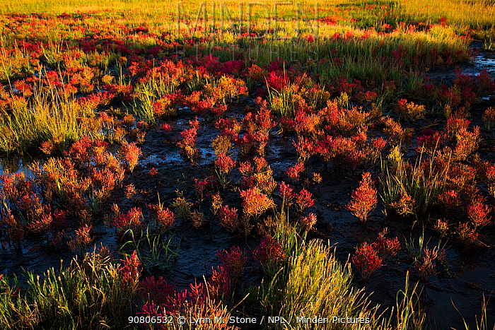 Glasswort (Salicornia sp.) in autumn red, growing in salt marsh adjacent to Long Island Sound, Connecticut, USA. October.