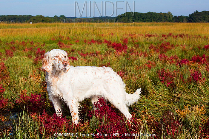 English Setter in salt marsh with red Glasswort, Connecticut, USA. October.