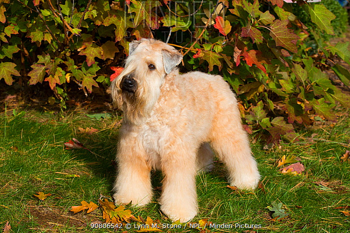 Soft Coated Wheaten Terrier standing in autumn foliage, Connecticut, USA. October.