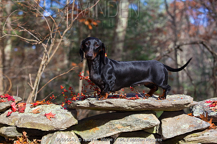 Smooth-haired Dachshund, Connecticut, USA. November.