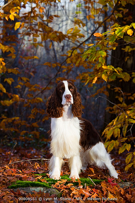 English Springer spaniel standing in autumn woodland, Cockaponset State Forest, Connecticut, USA. November.