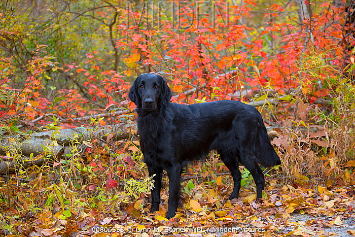 Black Flat-Coated Retriever standing among autumn foliage, Cockaponset State Forest, Connecticut, USA. November.