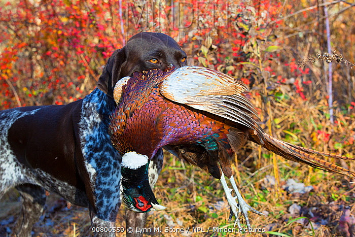 German Shorthair Pointer with Ring-Necked pheasant in mouth, Connecticut, USA. November.
