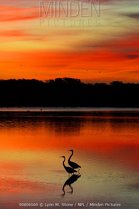Two Great egrets (Ardea alba) at dawn, low tide; St. Petersburg, Florida, USA. November.