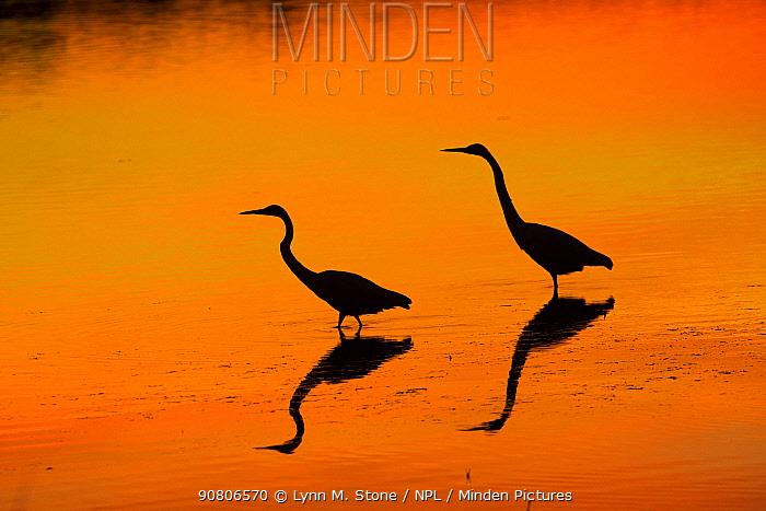 Two Great egrets (Ardea alba) at dawn, low tide, Florida, USA. November.