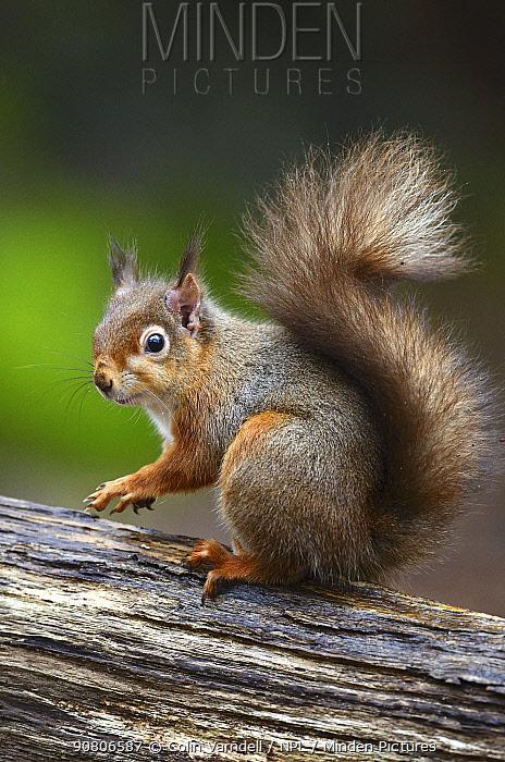 Red squirrel (Sciurus vulgaris) Brownsea Island, Dorset, UK February.