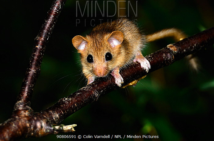 Dormouse (Muscardinus avellanarius) juvenile, Dorset, UK July.
