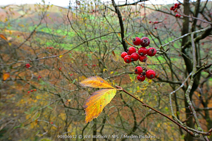 Llanthony Whitebeam (Sorbus stenophylla) berries and leaves, endemic to the Brecon Beacons and Vale of Ewyas, Breconshire, Wales, October 2018.
