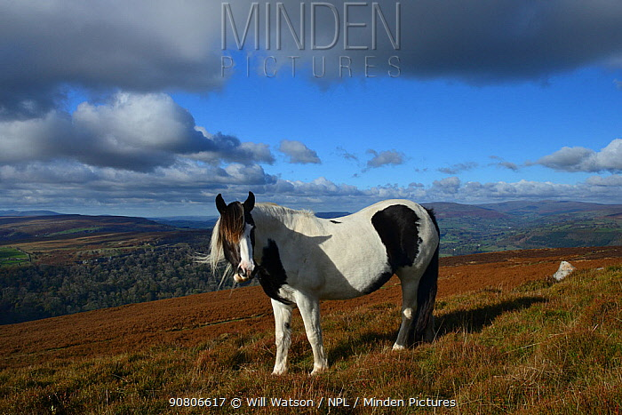 Semi-feral Welsh Cob (Equus caballus) skewbald mare on heather moorland, Blorenge, Brecon Beacons National Park, Monmouthshire, Wales, October 2018.