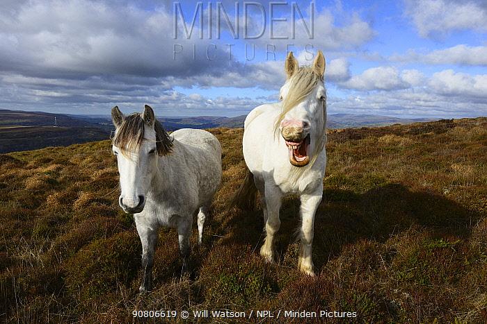 Welsh Cob (Equus caballus) yawning, heather moorland, Blorenge Mountain, Brecon Beacons National Park, Monmouthshire, Wales, October 2018.
