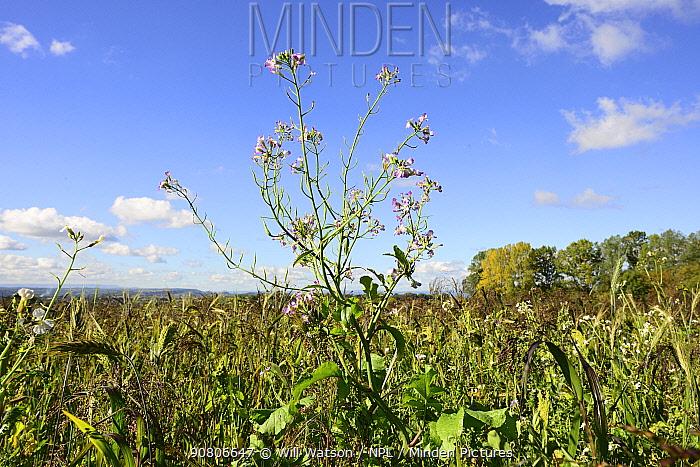 Fodder radish (Raphanus sativa var. oleiformis), growing in field of game cover crop, Herefordshire Plateau, England, UK. September.