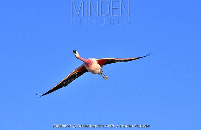 Andean flamingo (Phoenicoparrus andinus) in flight, Salar d'Atacama, Chile.