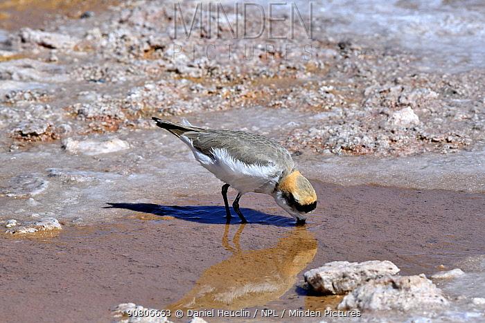 Puna Plover (Charadrius alticola) foraging, Salar Atacama. Chile.