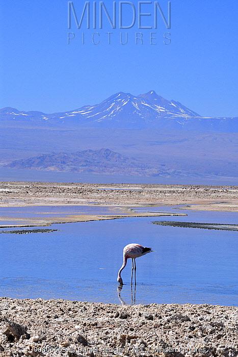 Andean flamingos (Phoenicoparrus andinus) feeding in habitat, Salar d'Atacama, Chile.