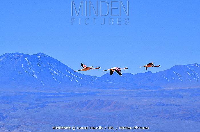 Andean flamingos (Phoenicoparrus andinus) in flight, Salar d'Atacama, Chile.