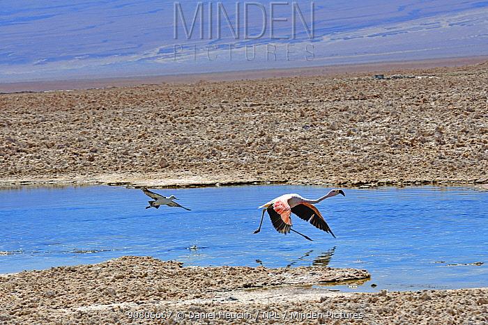Andean flamingo (Phoenicoparrus andinus) and Andean avocet (Recurvirostra andina) taking off, Salar d'Atacama, Chile.